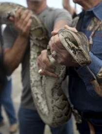 13-foot-long Burmese python captured in Florida Everglades, January 2013/AP, Florida Today