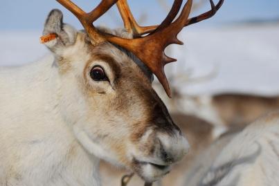 Reindeer in Arctic, undated/Kia Hansen, LiveScience.com