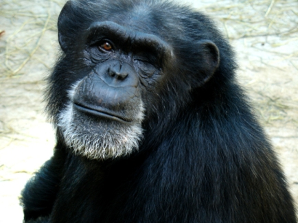 Crystal, 25-year-old retired research chimp infected with HIV for medical research, Chimp Haven Sanctuary, undated/Chimp Haven, CBSNews.com