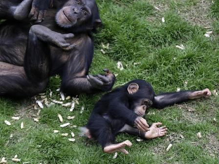 Unidentified chimpanzees, Chimp Haven retirement home for research animals, Keithville, LA, undated/Gerald Herbert, AP NPR.org