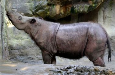 Suci, female Sumatran rhino, Cincinnati Zoo, July 17, 2013/Al Behrman, AP, Houston Chronicle
