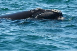 "North Atlantic right whale ""Phantom"" (#3808), Gulf of Maine, late 2012/Cyndi Bowning, New England Aquarium, Woods Hole Oceanographic Institution"