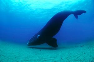 Right whale, location and date unknown/eventbrite.com