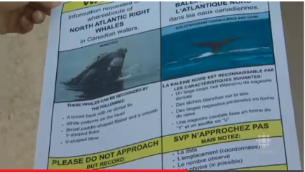 Public Flyer Requesting Help Locaiting, Identifying Missing Right Whales/still from CBCNews report, 10/4/13