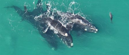 Southern right whale courtship group & adult bottlenose dolphin off Port Fairy, Victoria, Australia, undated/M. Watson, DEP-VIC., ABC South East SA