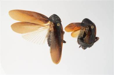 Male and female cold-tolerant Periplaneta japonica from Asia found in NYC/Lyle Buss, U of Florida, NBC News