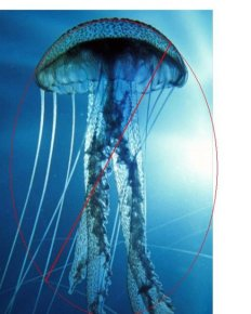 "Cyro, the robotic jellyfish, is 5'7"" long/Facebook, Nature World News"