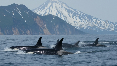 Russian Orcas, location and date unknown/Tatiana Ivkovich , Far East Russia Orca Project, Whale and Dolphin Conservation, Outside Magazine