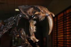Saber-toothed tiger skeleton, Page Museum, La Brea Tar Pits, Los Angeles, CA/Larisa DeSantis, Vanderbilt University