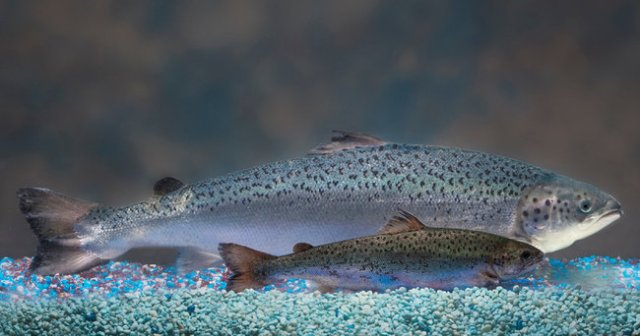 AquaBounty's genetically engineered, fast-growing AquAdvantage salmon & regular Atlantic Salmon of same age/Barrett, AquaBounty Technologies, The New York Times
