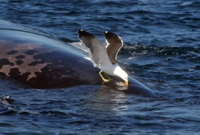 Seagull pecks whale off Patagonia, undated/CENPAT-CONICET Institute, PhysOrg