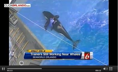 Trainer rubs orca, SeaWorld Orlando, April 26, 2013/ClickOrlando.com, Seattle PI