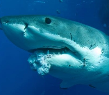 Great white with tumor on lower jaw, near Neptune Islands, South Australia, undated/Andrew Fox, Sam Cahir, LiveScience.com