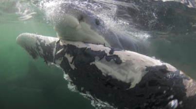 Great whites feeding on dead whale, South Africa, undated/U of MIami, ScienceDaily.com