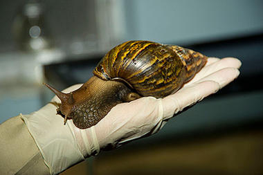 Giant African Snail, found in Maimi, Sept 2011/USDA, Christian Science Monitor