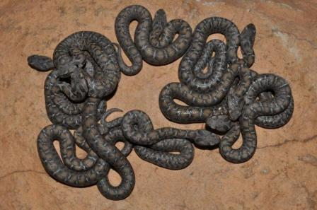 Nine ocellate mountain vipers, St. Louis Zoo, undated/St. Louis Zoo, International Business Times