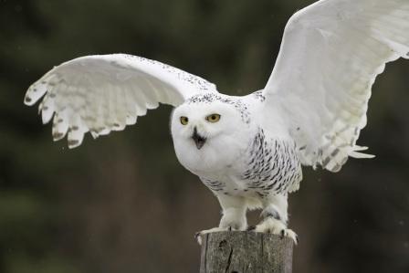 Snowy owl/Les Palenik, Shutterstock, LiveScience