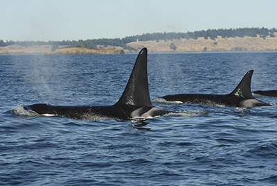 Southern resident killer whale son and mother L-79 (left, now missing) and L-22, undated/Center For Whale Research, The Islands' Sounder