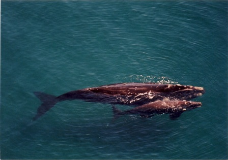 Southern right whale mother and calf off Patagonia, undated/G. Harris, Wildlife ConservationSociety, LiveScience.com
