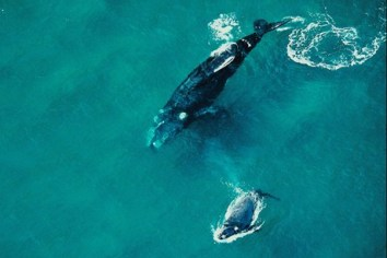 Southern Right Whales, New Zealand, undated/3 News New Zealand