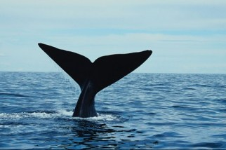 Southern right whale, New Zealand, undated/ 3 News New Zealand