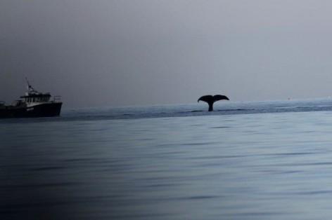 Sperm whale off northwest Scotland, undated/Nick Davies, Sea Watch, AOL Travel