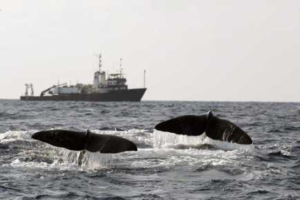 Sperm whales begin a deep feeding dive, Gulf of Mexico, 2002/Jonathan Gordon, USDI, AP, Sun Herald