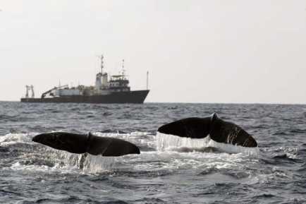 Sperm whales begin a deep feeding dive, Gulf of Mexico, 2002/Jonathan Gordon, USDI, AP, Sun Herald