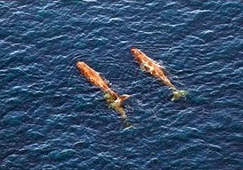 Sperm whales in Gulf of Mexico, southeast of Mississippi, March 20, 2011/Daniel Mueller, Greenpeace,  Environmental News Service