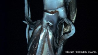 Video still of Giant Squid, 2,000 feet below surface of Pacific Ocean near Chichi-jim Island, Japan, undated/NHK, NEP, Discovery Channel, ABC News