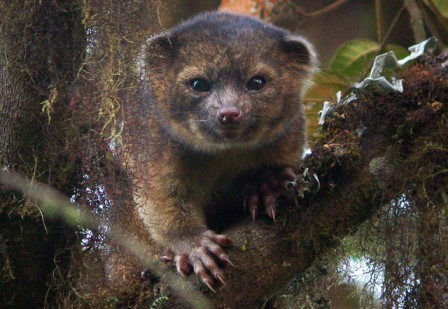 Bassaricyon neblina, aka the olinguito, undated/Smithsonian Institute, Bloomberg.com
