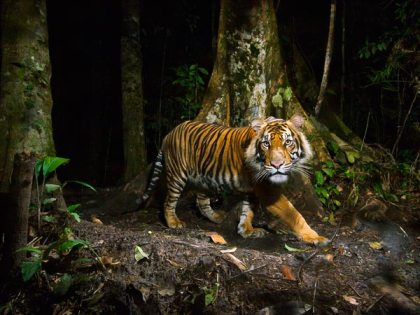Sumatran tiger, Northern Sumatra, Indonesia, undated/Steve Winter, National Geographic