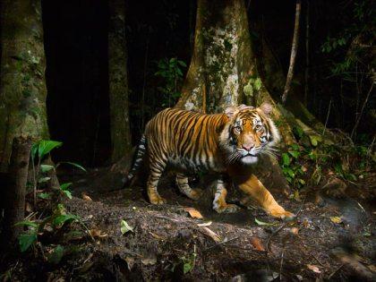 Sumatran tiger, Northern Sumatra, Indonesia, undated/Steve Winter, National Geographic