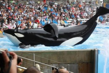 Tilikum, SeaWorld Orlando, undated/The Daily Beast