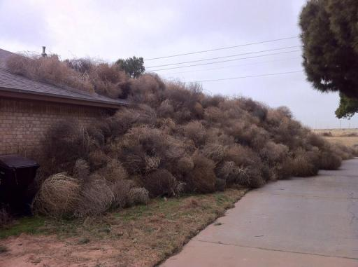Tumbleweeds piled up against Josh Pitman's house, Midland, TX, Feb 25, 2013/News West 9