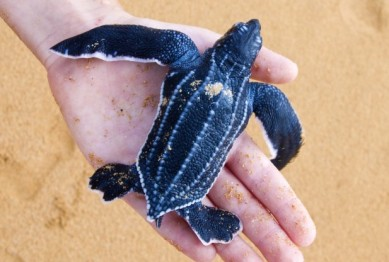 Young leatherback, location & date unknown/IrinaK, Shutterstock, RedOrbit.com