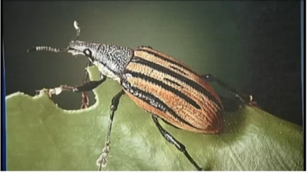 Asian weevil/NBCNewYork.com