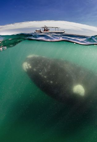 Right whale in foreground, whale-watching boat in background, Peninsula Valdes, Argentina, December 2013/Justin Hofman, Mirror News