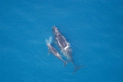 Right whale mother and calf, location unknown, 2005/NOAA, Alaska Dispatch