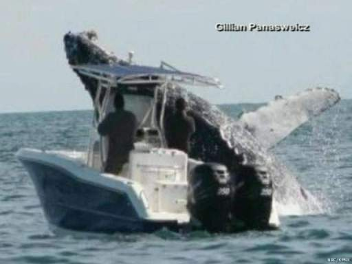 Humpback whale breaches near boat, Sea of Cortez, Mexico, undated/Gillian Panasweicz, NBC, KPNX