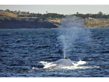 Unidentified whale, undated/Orange County Register