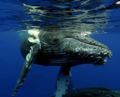 Humpback whale injured by ship strike, Hawaii, undated/E. Lyman, NOAA, Humpback Whale Sanctuary, MMHSRP, permit #932-1905.