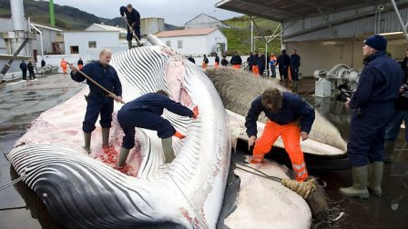 Whalers flay fin whale caught off Iceland, 2009/AFP,Perthnow.com