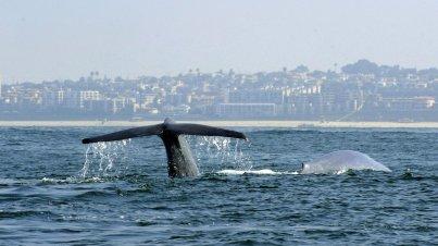 Whales off Palos Verdes, CA, 2010/Mike Nelson, EPA, Landov, NPR.org/