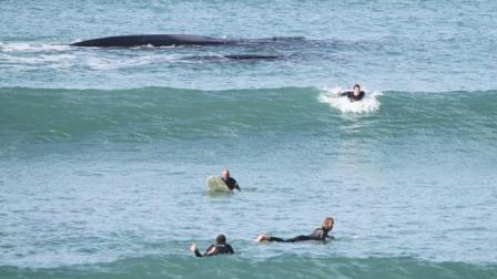 Right whale mother and calf with surfers, Middleton, AU. Sept 21, 2013/Mike Hardy, NewsForce, news.com.au