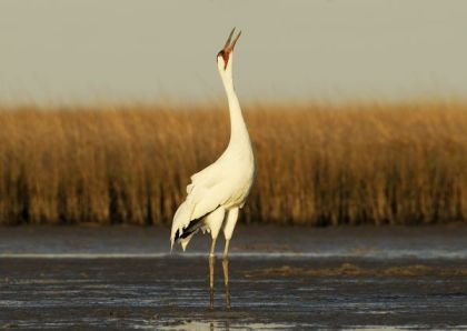 Whooping crane, location & date unknown/Klaus Nigge, National Geographic