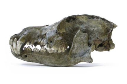 Ice Age wolf skull/Royal Belgian Institute of Natural Sciences, PA, Mirror