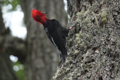 Magellanic woodpecker, location and date unknown/Jaime Jimenez, LiveScience