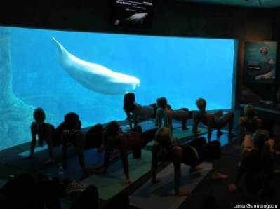 Unidentified captive beluga observes yoga class, Vancouver Aquarium, undated/Lana Gunlaugson, eCanada Now