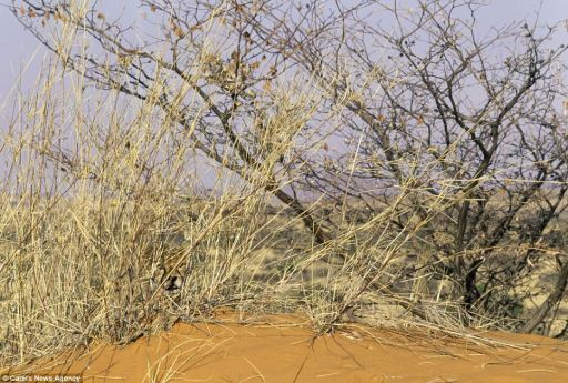 Cheetah cub camouflaged in desert scrub, Kalahari Desert, South Africa, undated/Art Wolfe, Caters News Agency, Daily Mail Online